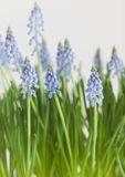 Common Grape Hyacinth Royalty Free Stock Image