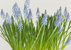 Common grape hyacinth Stock Photography
