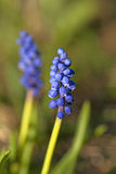 Common grape hyacinth Royalty Free Stock Photo
