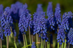 Common grape hyacinth Royalty Free Stock Photography