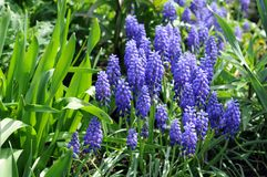 Common Grape Hyacinth flower Stock Photography