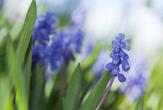 Common grape hyacinth (Muscari botryoides) Stock Photography