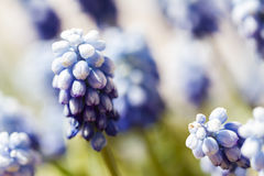 Common grape hyacinth Stock Images