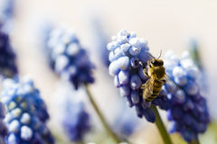 Common grape hyacinth Royalty Free Stock Images
