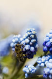 Common grape hyacinth Royalty Free Stock Photos