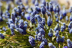 Common grape hyacinth Stock Image