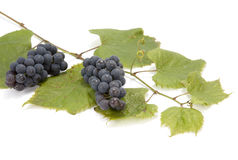 Common Grape Vine. Twig of Common Grape Vine (Vitis vinifera) with ripe fruits on white background Stock Images