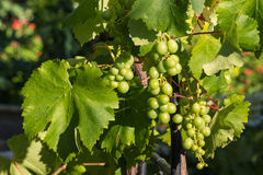 Common grape vine fruit and leaves Royalty Free Stock Images
