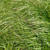 Common grass Stock Photography