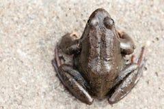Common grass frog (Rana temporaria) Royalty Free Stock Image