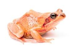 Common grass frog Rana temporaria Royalty Free Stock Photo