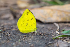 Common Grass Yellow butterfly Stock Image