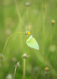 Common Grass Yellow butterfly (Eurema hecabe contubrenalis (Moore)) on grass flower. Common Grass Yellow butterfly (Eurema hecabe contubrenalis (Moore)) on a royalty free stock photography