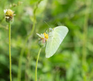 Common Grass Yellow butterfly (Eurema hecabe contubrenalis (Moore)) on grass flower. Common Grass Yellow butterfly (Eurema hecabe contubrenalis (Moore)) on a stock photos