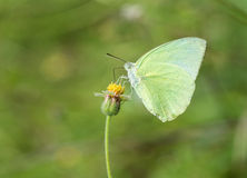 Common Grass Yellow butterfly (Eurema hecabe contubrenalis (Moore)) on grass flower. Common Grass Yellow butterfly (Eurema hecabe contubrenalis (Moore)) on a stock images