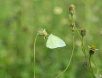 Common Grass Yellow butterfly (Eurema hecabe contubrenalis (Moore)) on grass flower. Common Grass Yellow butterfly (Eurema hecabe contubrenalis (Moore)) on a royalty free stock photos