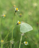 Common Grass Yellow butterfly (Eurema hecabe contubrenalis (Moore)) on grass flower. Common Grass Yellow butterfly (Eurema hecabe contubrenalis (Moore)) on a royalty free stock photo