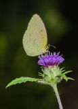 Common Grass Yellow Butterfly. On a flower stock photo