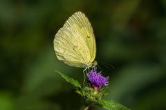 Common Grass Yellow Butterfly royalty free stock images