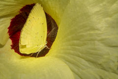 Common Grass yellow butterfly. Inside a wild flower stock photos