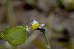 Common grass yellow butterfly or Eurema hecabe. Common grass yellow butterfly on a tiny flower sucking nectar royalty free stock image