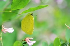 Common grass yellow. / Yellow butterfly stock photo
