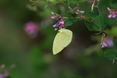 Common grass yellow. / Yellow butterfly stock photos
