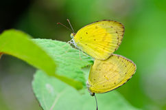 Common Grass Yellow, Eurema hecabe. mating in lawn Royalty Free Stock Photo