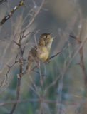 Common Grasshopper Warbler male singing in the bush. Royalty Free Stock Photography