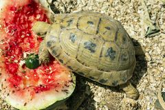 Common Greek Tortoise Eating Watermelon royalty free stock images