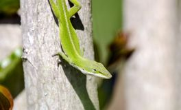 Green Anole lizard, Georgia USA. Common green anole, Anolis carolinensis, , on a tree. Photographed in Athens, GA USA. The green anole is a common lizard Royalty Free Stock Images