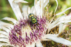 Common green bottle fly collecting pollen from a flower Stock Photo