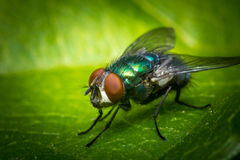 Common Green Bottle Fly Stock Images