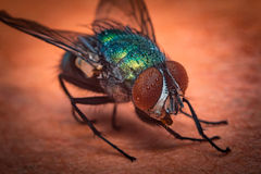 Common Green Bottle Fly Royalty Free Stock Photography