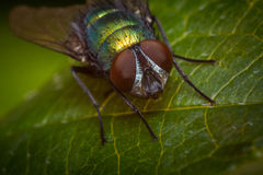 Common Green Bottle Fly Royalty Free Stock Photos