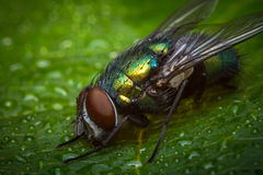 Common Green Bottle Fly Royalty Free Stock Photo