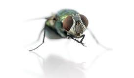 Common green bottle fly having a wash, Phaenicia sericata Royalty Free Stock Photography
