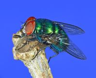 Common Green Bottle fly (Lucilia sericata) Royalty Free Stock Image