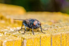 Common green bottle fly Lucilia sericata iis a blow fly found in royalty free stock photos