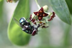 The common green bottle fly or Phaenicia sericata Stock Photos