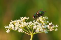 Common green bottle fly sitting on a small white flower close-up stock images