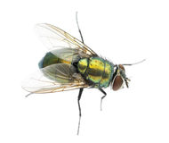 Common green bottle fly viewed from up high, Phaenicia sericata Royalty Free Stock Photos