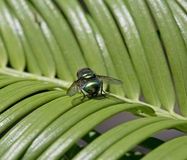 Common green bottle, Lucilia sericata Stock Image
