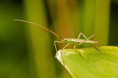 Common Green Capsid Stock Images