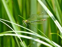 Common Green Darner Stock Images