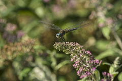 Common Green Darner(Anax junius) Stock Image