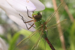 Common Green Darner Dragonfly Stock Photography