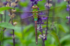 Free Common Green Darner Dragonfly - Anax Junius Royalty Free Stock Photography - 45757727