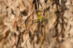 Common Green Darner Dragonfly - Anax junius. Female Green Darner Dragonfly perched on dead plants matter. Tommy Thompson Park, Toronto, Ontaio, Canada stock images
