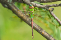 Common Green Darner Dragonfly Royalty Free Stock Image